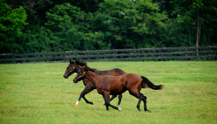 Thoroughbred horses near Lexington Kentucky, the Horse Capitol of the World